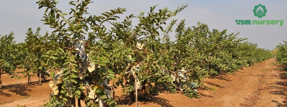 Guava Orchard