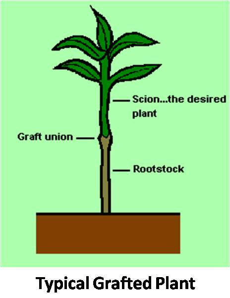 Typical-Grafted-Plant.jpg