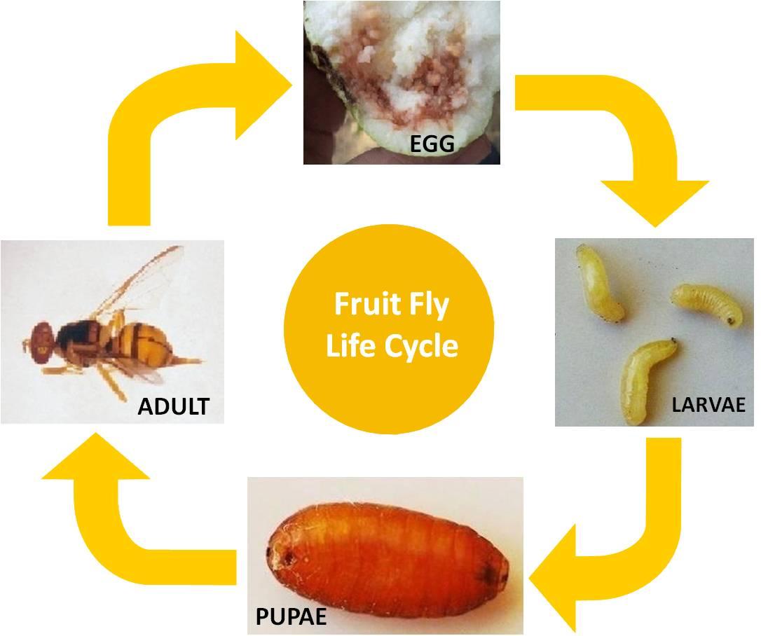 Fuit Fly | VNR Nursery